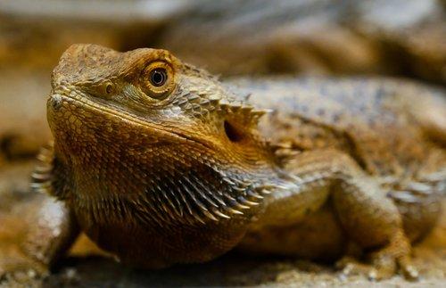 animal  lizard  agame
