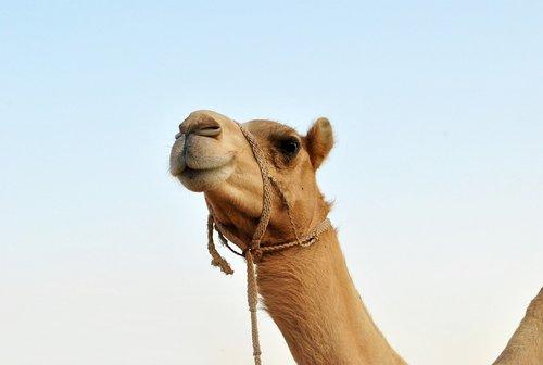 animal  camel  mammal
