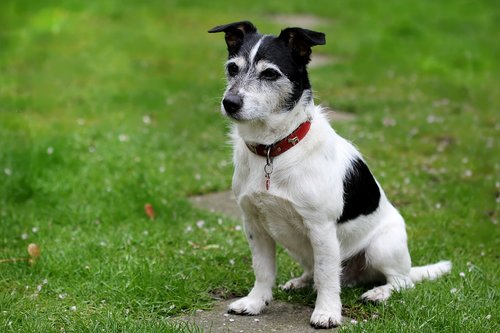 animal  dog  jack russell