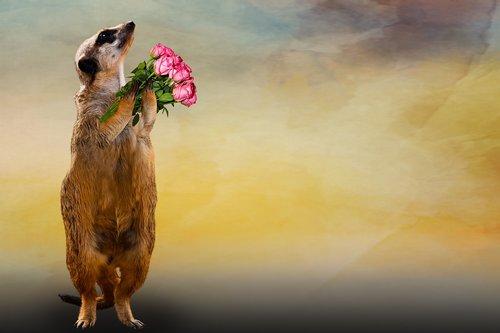animal  meerkat  bouquet