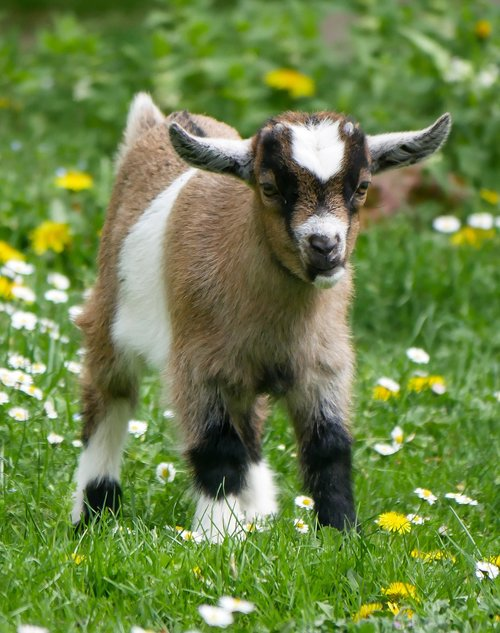 animal  pet  goat