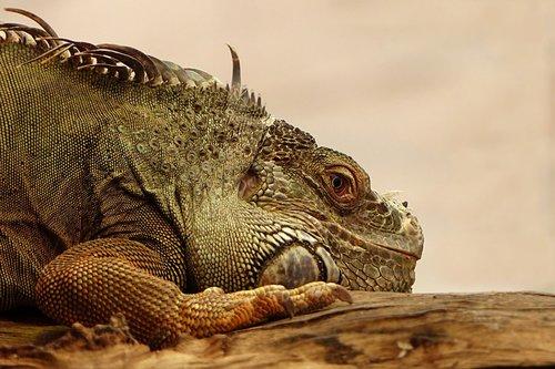 animal  reptile  lizard