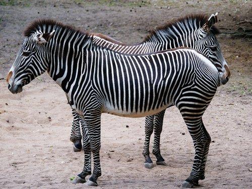 animal  zebra  stripes