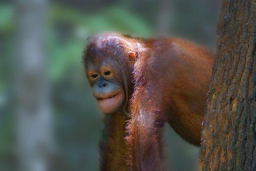 animal  orangutan  borneo