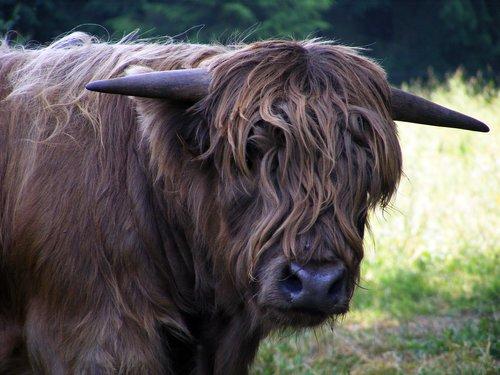 animal  highland beef  close up