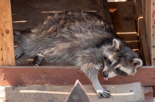 animal  funny  raccoon