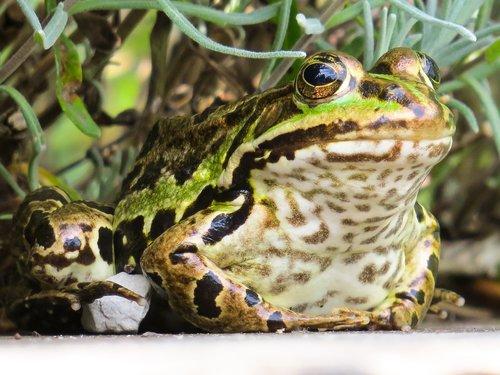 animal  frog  amphibian