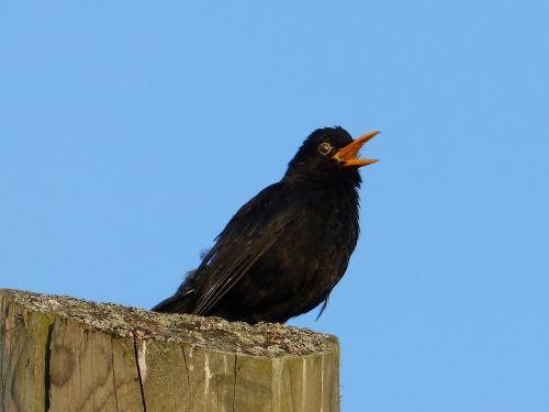animal bird blackbird