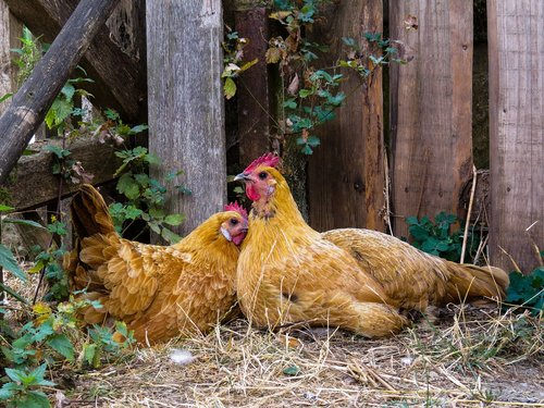 animal  chicken  poultry