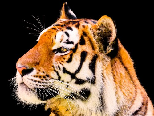 animal  tiger  big cat