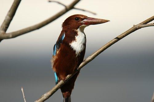 animal  bird  kingfisher