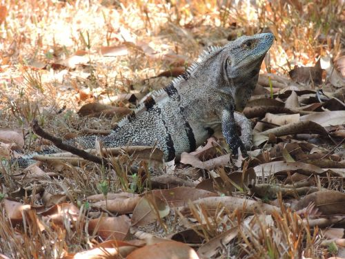 animal iguana reptile