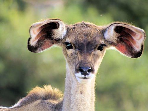 animal  kudu  young