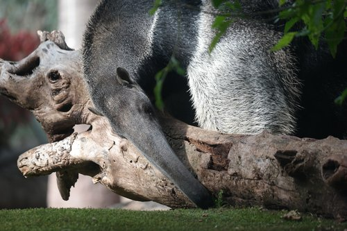 animal  anteater  animal world