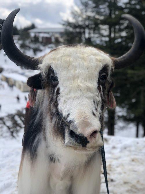 animal  yak  himalayas