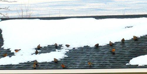 animal  bird  robins