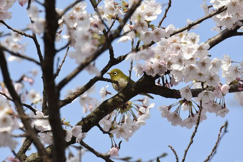 animal  plant  cherry blossoms