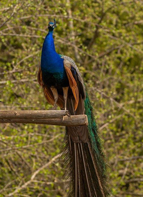 animal  bird  peacock