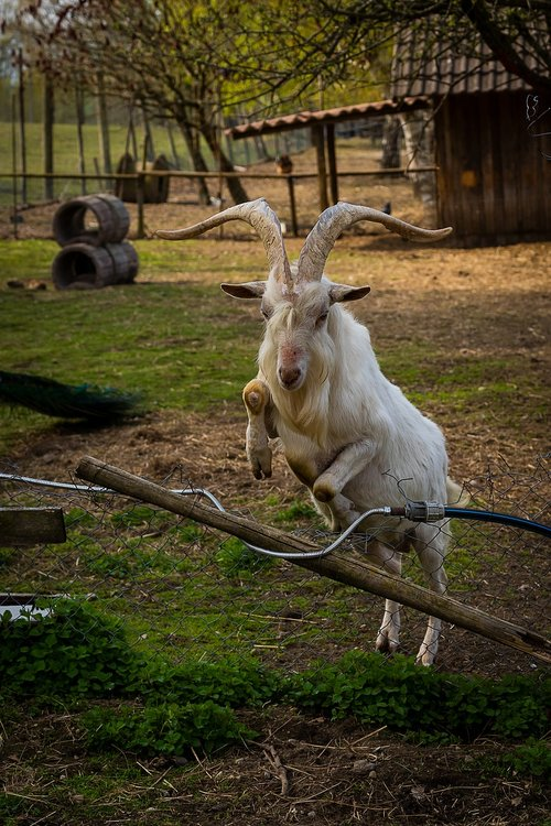 animal  ungulate  goat