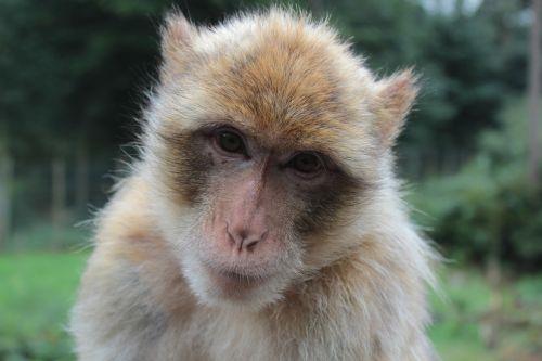 animal barbary ape monkey