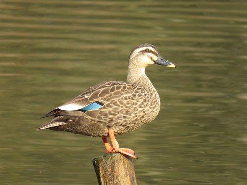 animal  wild birds  waterfowl
