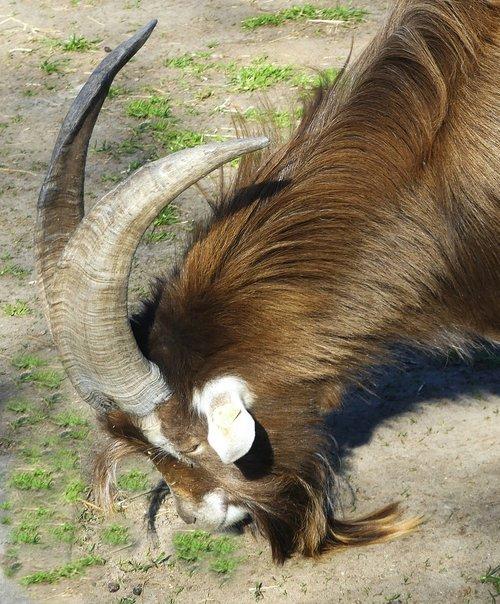 animal  billy goat  horns