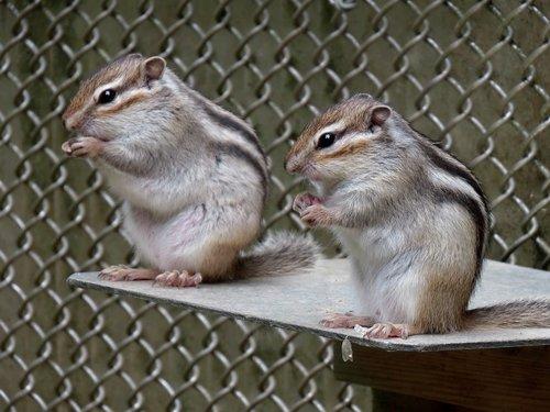 animal  squirrel  chipmunk
