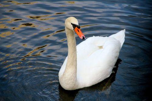 animal swan water bird