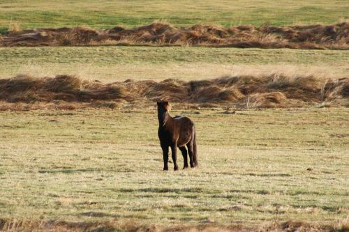 gyvūnas,arklys,Islandijos arklys,ganykla,ponis,žolė,pieva