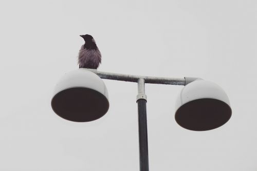 animal bird raven