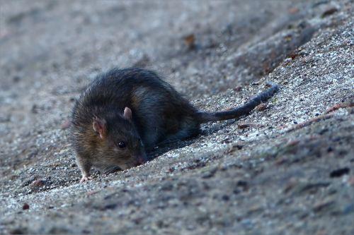 animal rat foraging