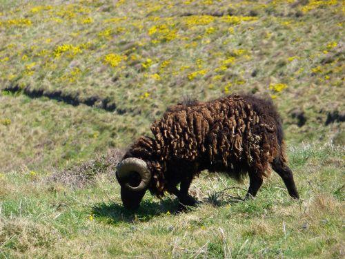 animal sheep pre