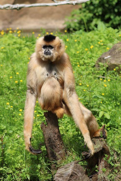 animal monkey relax