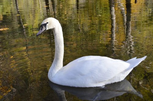animal,swan,pond,nature,free photos,free images,royalty free