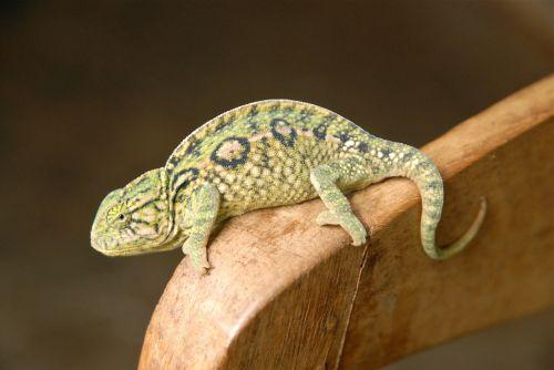 animal chameleon green