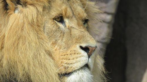 animal lion wildlife photograph