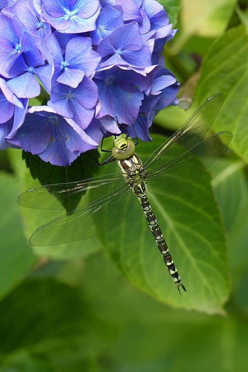 animal insect dragonfly
