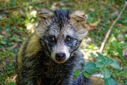 animal marten raccoon dog