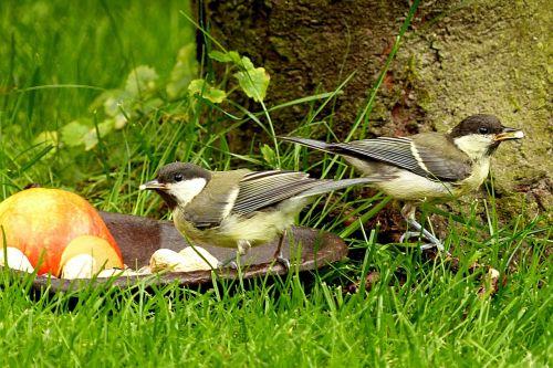 gyvūnas, paukštis, puikus tits, Parus majoras, jaunas, maitinimas, sodo vasara