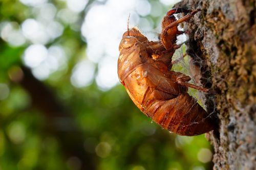 animal cicada chantui