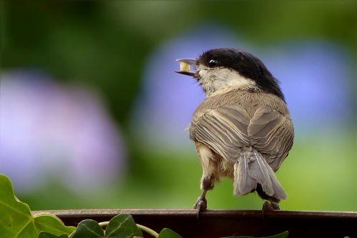 animal bird coal tit