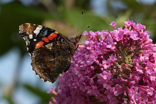 animal butterfly buddleja davidii