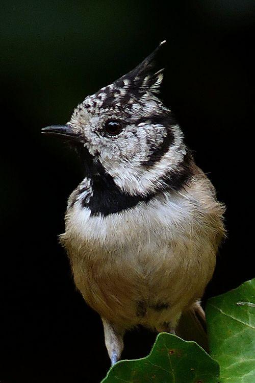 animal bird crested tit