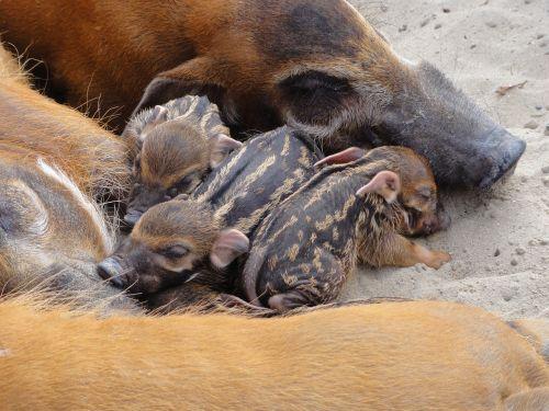 gyvūnas,bushpigs,paršeliai,miega,afrikietiška kiaulė