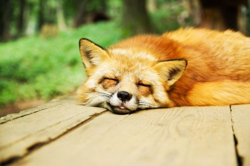 animal fox cute