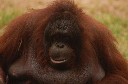 animal monkey orang utan