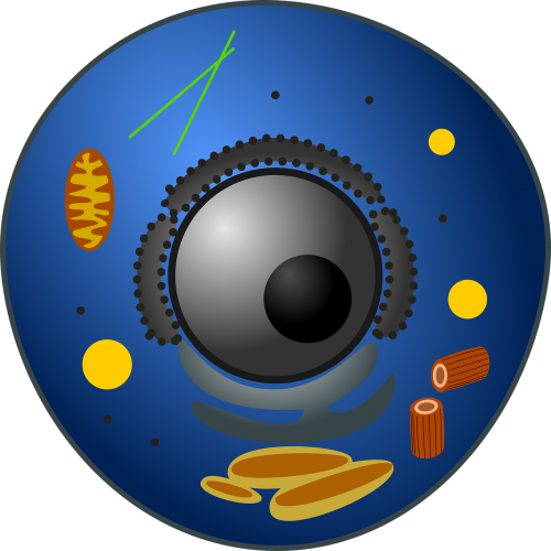 animal cell biology eukaryote