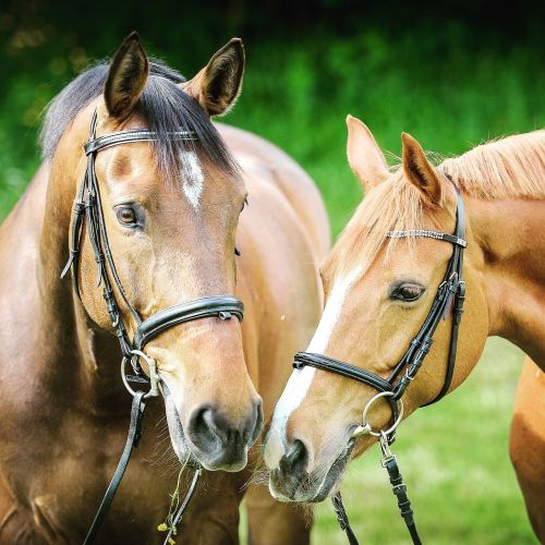 animal photography animals bridle