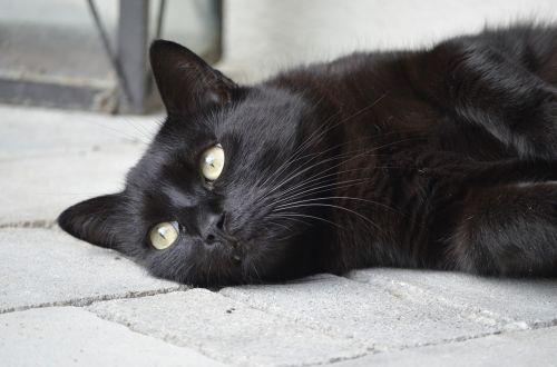 animal portrait cat black cat