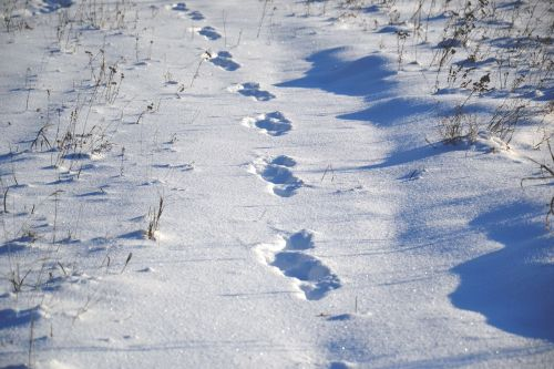 gyvūnų takai,ant sniego,sniegas,žiema,šaltis,saulėta diena,žiemos diena,šešėlis,snaigės,balta,kelias,gamta,šaltas,augalas,sniego dramos,žiemos fone,laukas,temperatūra,minusas,Siberija